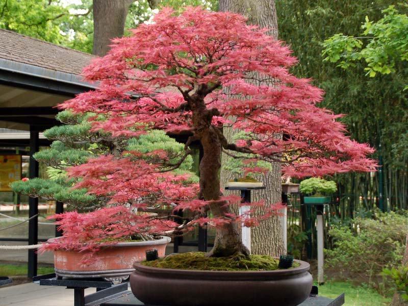 Lịch sử cây bonsai