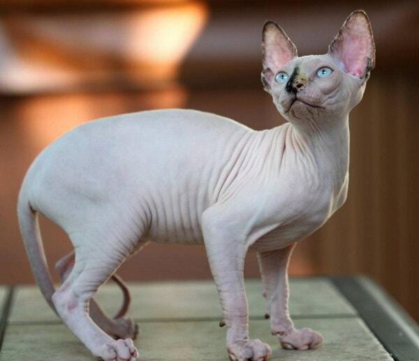 Giống mèo Sphynx đặc biệt