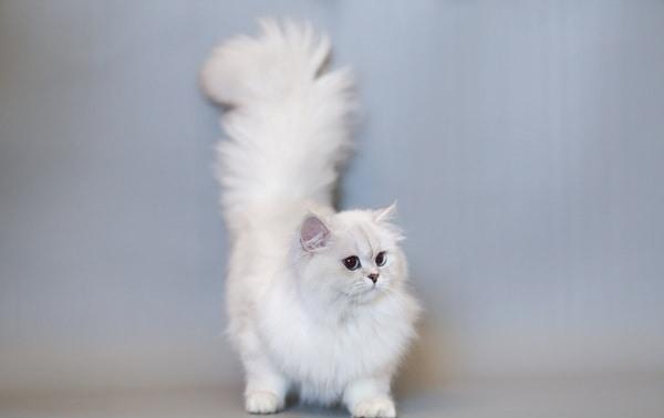 Đặc điểm mèo Anh lông dài