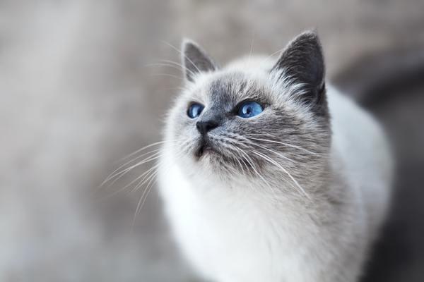Chú mèo Munchkin chân ngắn đáng yêu