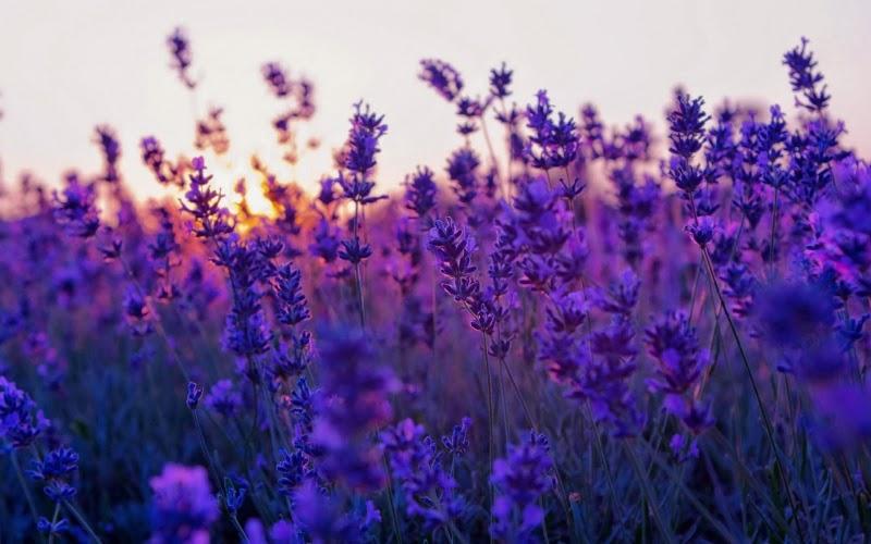 Hoa oải hương có mấy loại, nở tháng mấy? Ý nghĩa của lavender - Hoa eva