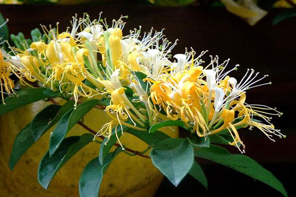 Hoa Kim Ngân là loài hoa đại diện cho tình yêu