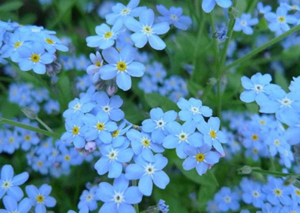 Hoa Lưu Ly là hoa dành cho tình yêu