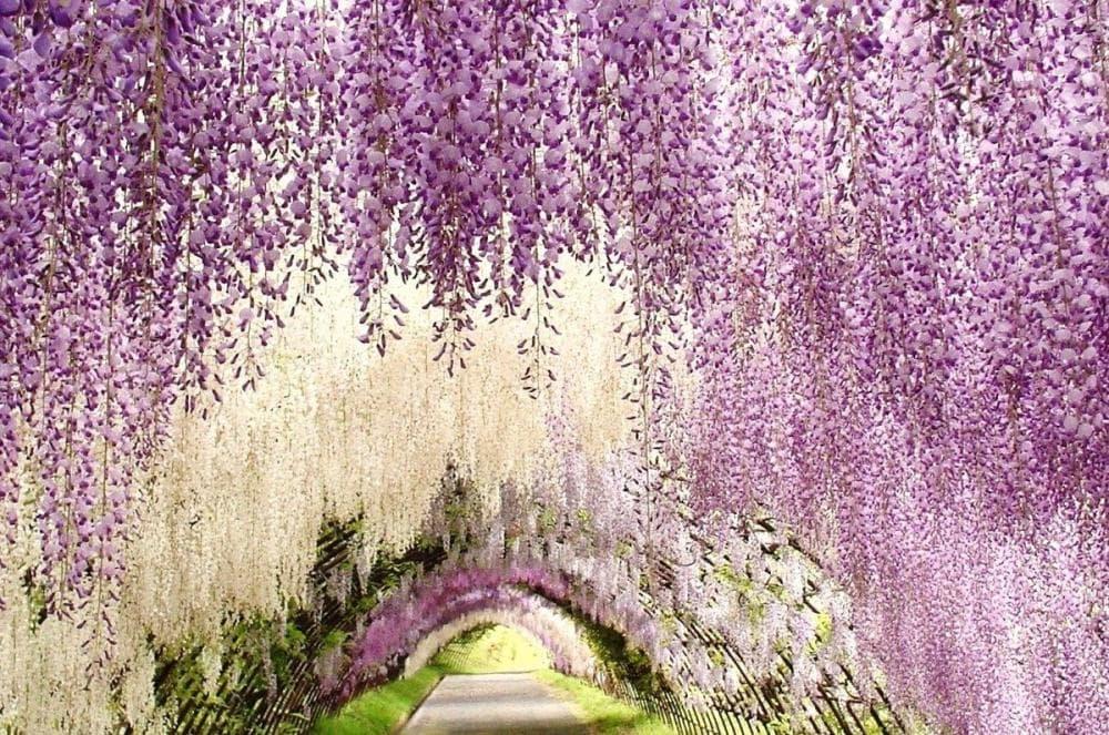 Ý Nghĩa Hoa Tử Đằng – Biểu Tượng Tình Yêu Bất Diệt – flowershop.com.vn